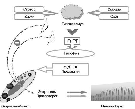 Регуляция менструального цикла