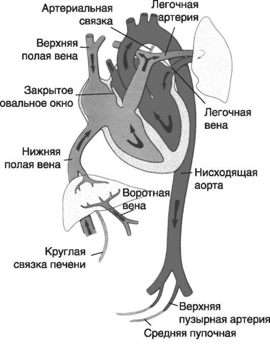 Цитотрофобласт фото