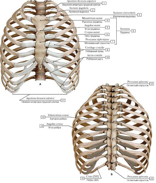 Скелет грудной клетки (А - вид