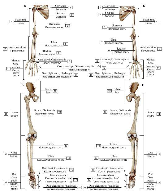 Добавочный скелет, вид сзади