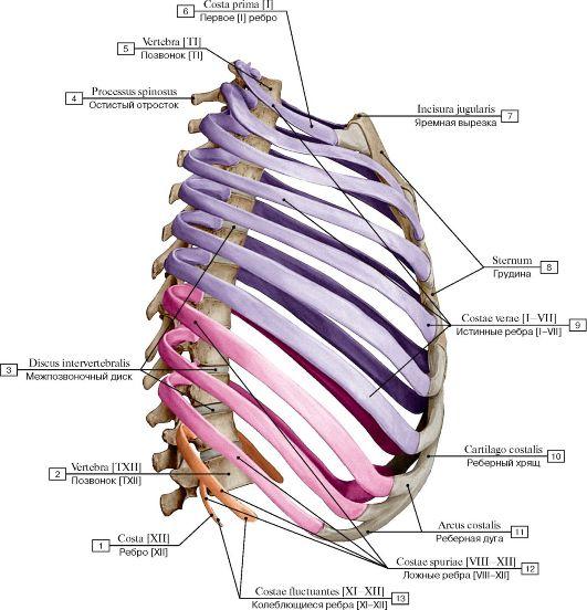 Скелет грудной клетки, вид