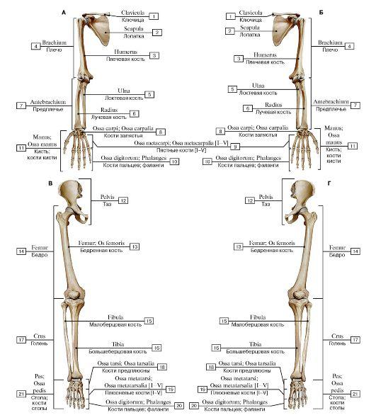 Добавочный скелет, вид спереди