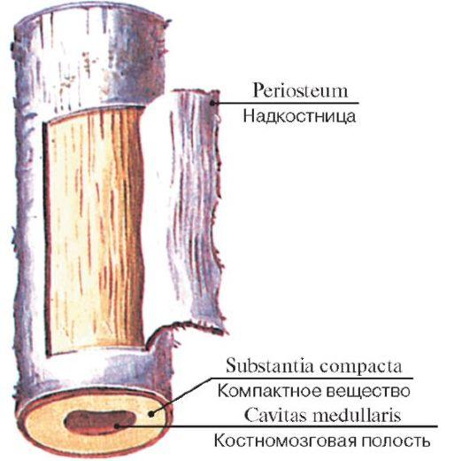 Строение диафиза трубчатой
