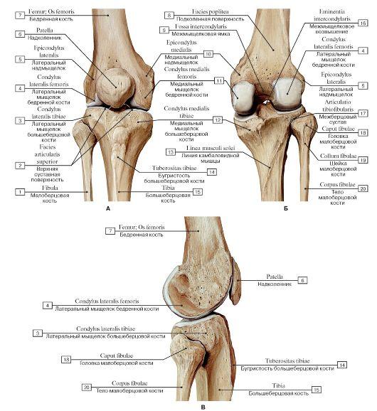 Анатомия костей коленного сустава тазобедренный сустав строение функции