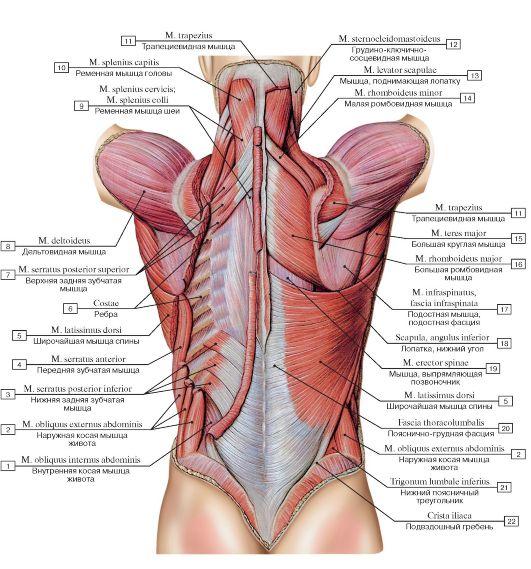 Мышцы спины и задней области