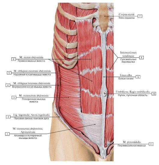 Влагалище прямой мышцы живота курсовая работа