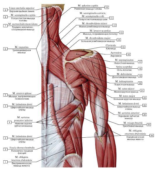 Мышцы поднимающие член