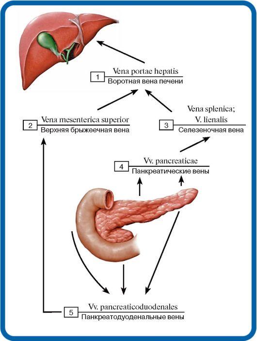 Portal Vein  anatomy