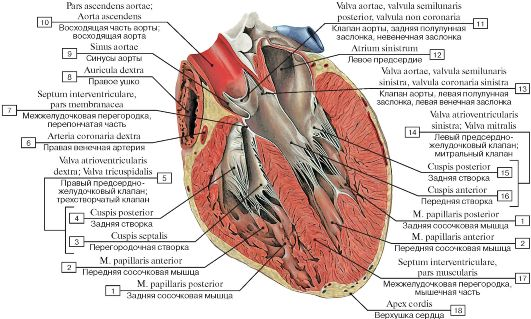 Камеры сердца, фронтальный