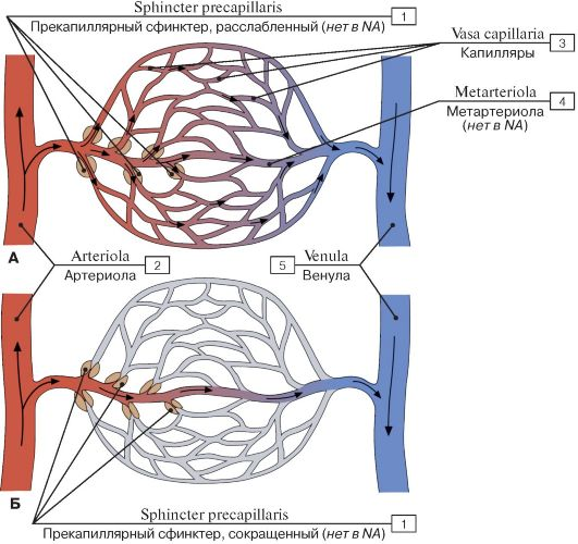 микроциркуляторного русла