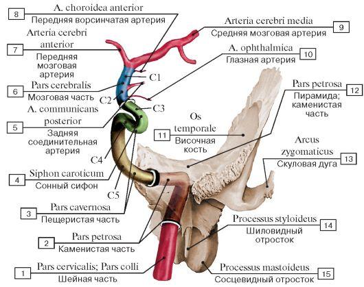 Книга: Анатомия сердечно-сосудистой системы