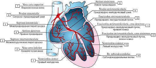 система сердца (схема):