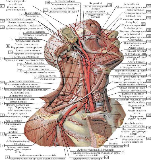 Артерии головы, шеи и пояса