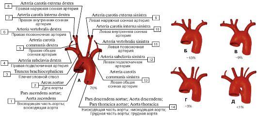 от дуги аорты (схема):