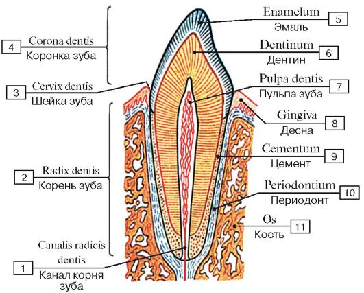 Строение зуба (схема):
