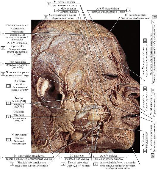 железы и мышцы лица,