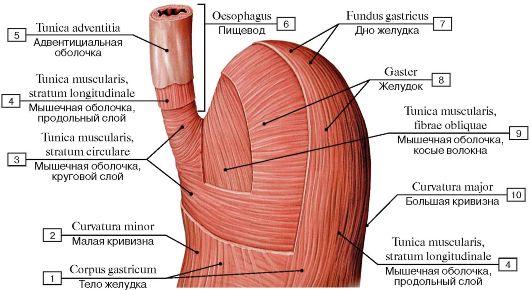 оболочка желудка (схема):