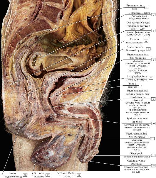 Органы брюшной полости и