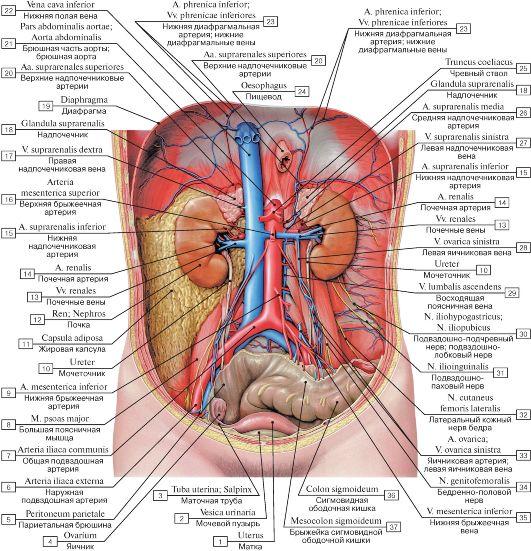 Расположение почек в брюшной