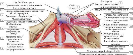 Половой член мышца