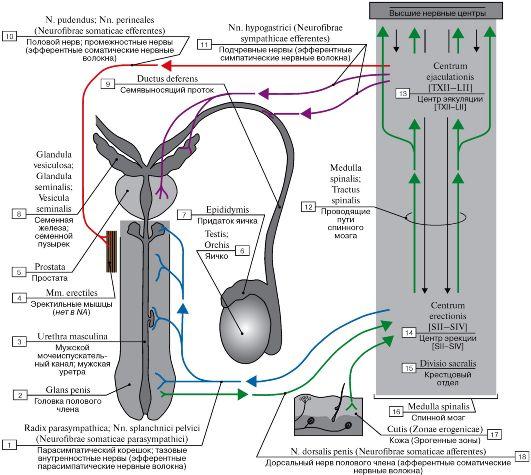 Схема полового рефлекса