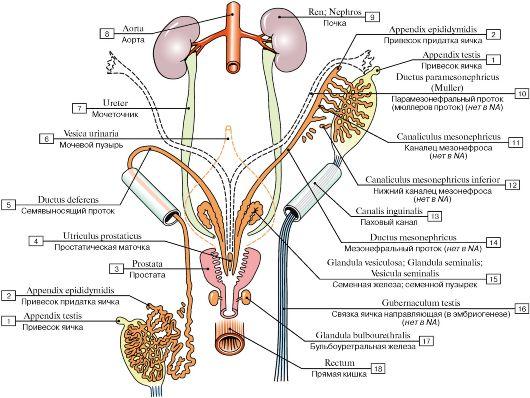 мужских половых органов