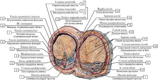фото мужских половых органов