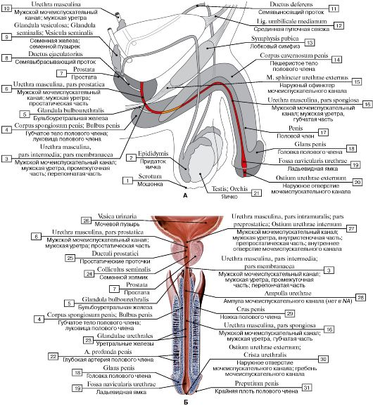 Мужская уретра (А - схема,