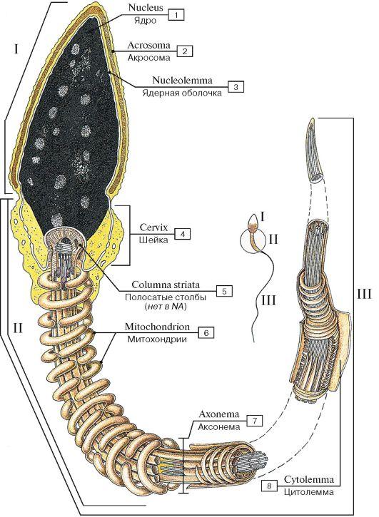 Строение сперматозоида (I