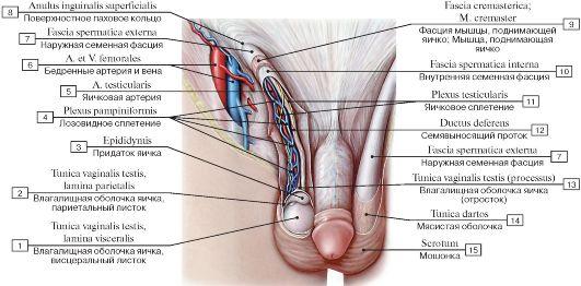мужские половые органы:
