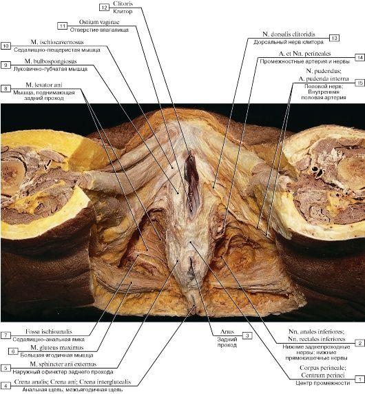 Смотреть различие женских половых органов 3 фотография