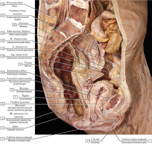 фото орган женский