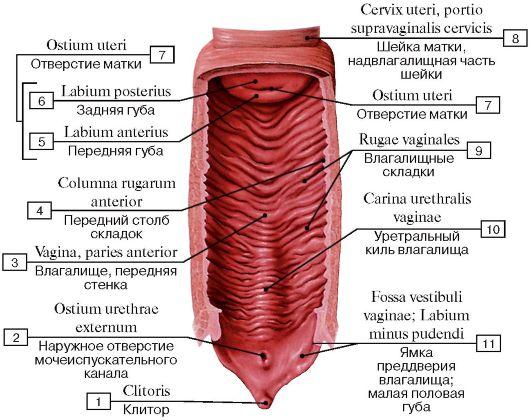 Из чего состоит вагина фото фото 622-54