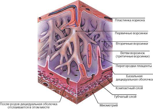 Рис. 464. Структура плаценты