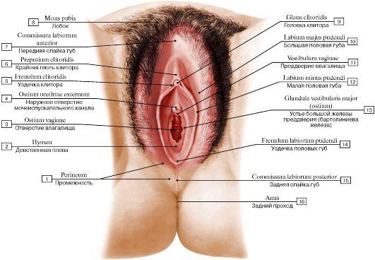 женская половые органы фото