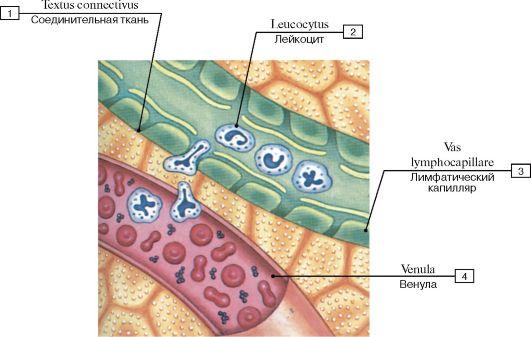 и лимфатические сосуды