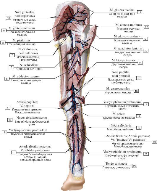 и узлы нижней конечности,