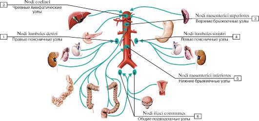 Схема брюшных органов