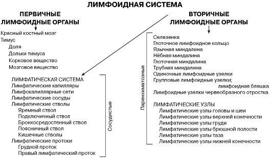 иммунной системы (схема):