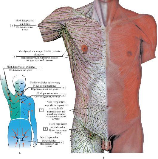 Б - лимфатические сосуды