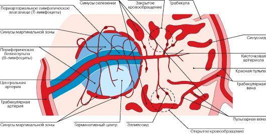 Лимфоидная система (органы кроветворения и иммунной системы) .