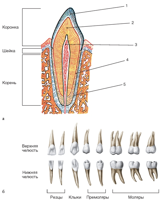 В полости зуба помещается