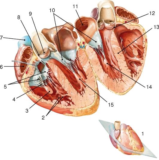 Виды варикоза женских половых органов