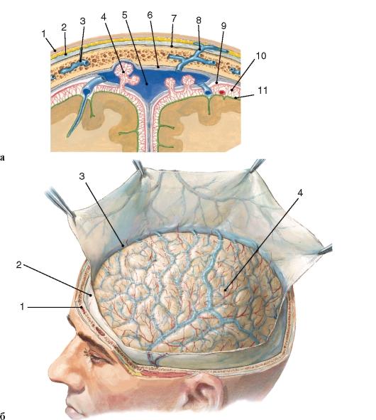 Оболочки мозга фото