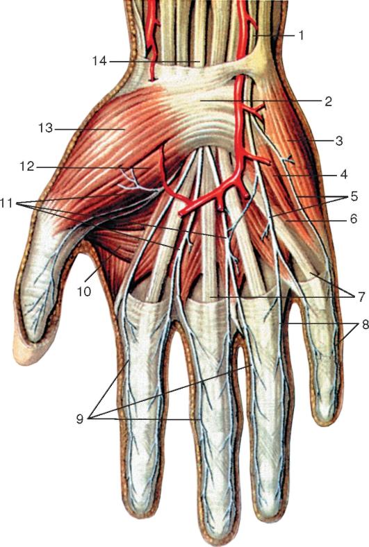 Нерв мышечно-кожный фото