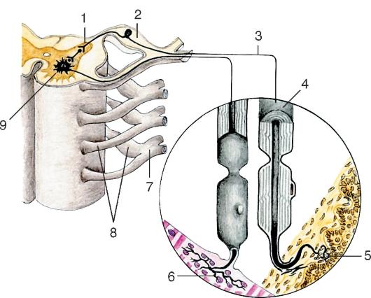 Строение периферического нерва