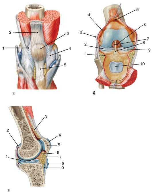 Нижнечелюстной сустав.животные.кости, связки, мышцы, кровоснабжение отзывы о операции на коленном суставе