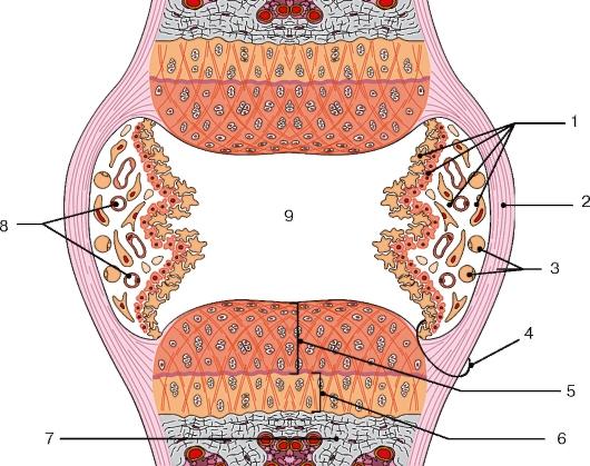 Схема строения сустава: