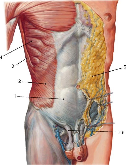 Поверхностные мышцы живота: