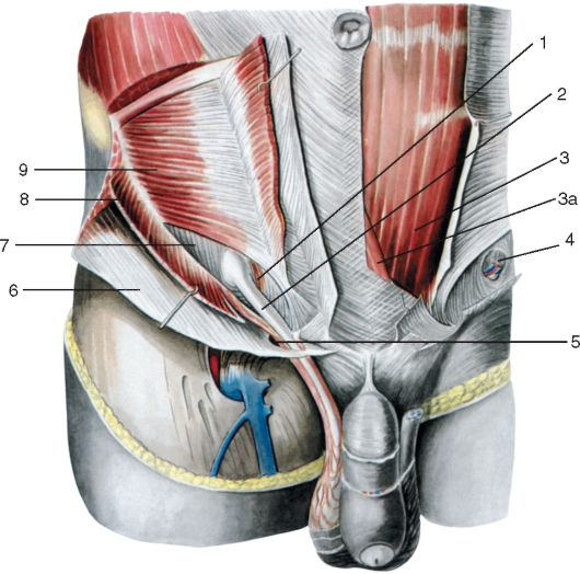и внутренняя косые мышцы